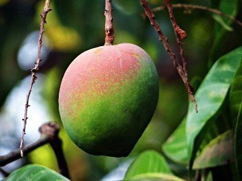 African mango extract helps boost your metabolism