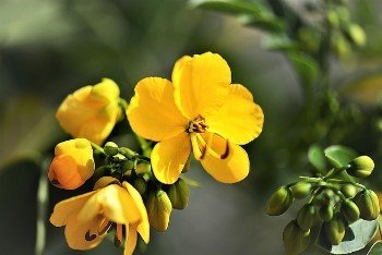 Senna leaf helps improve the peristaltic action of the colon